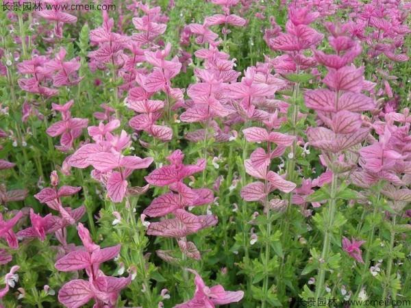 粉花鼠尾草种子发芽出苗开花图片