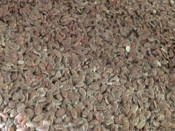 黄金亚麻种子图片