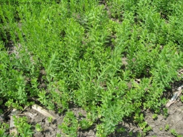 黄金亚麻种子发芽出苗开花图片
