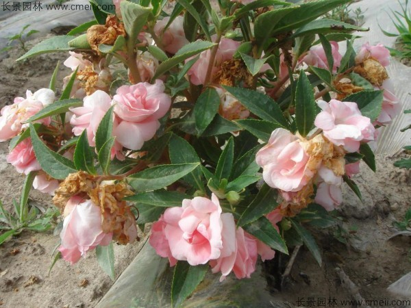 长春花种子发芽出苗开花图片