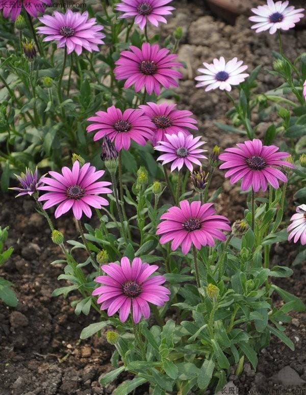 非洲菊种子发芽出苗开花图片