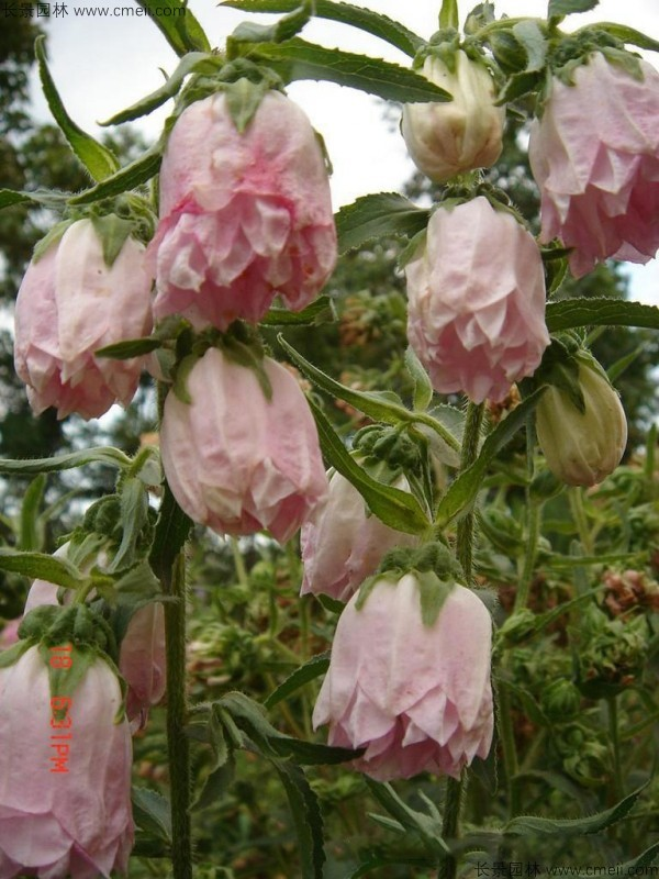 风铃花种子发芽出苗开花图片