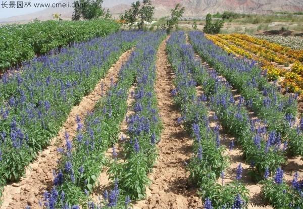 芳香鼠尾草种子发芽出苗开花图片
