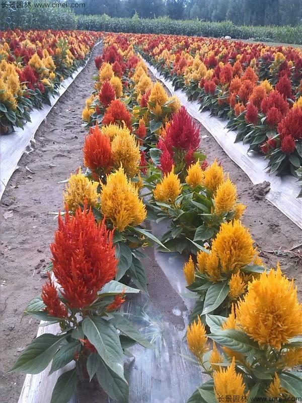 火焰鸡冠花种子发芽出苗开花图片