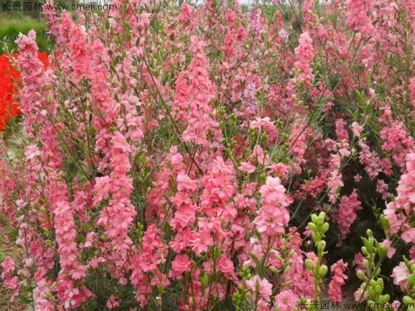 飞燕草种子发芽出苗开花图片