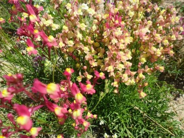 柳穿鱼种子发芽出苗开花图片