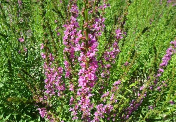 千屈菜种子发芽出苗开花图片