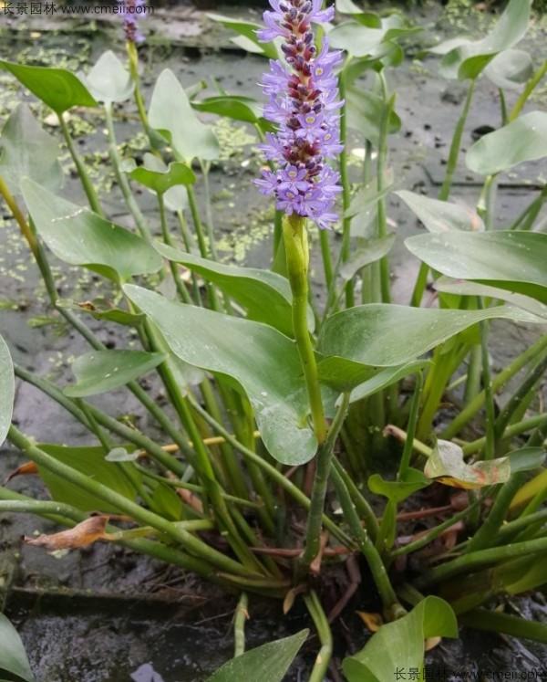 梭鱼草种子发芽出苗开花图片