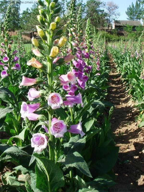 毛地黄种子发芽出苗开花图片