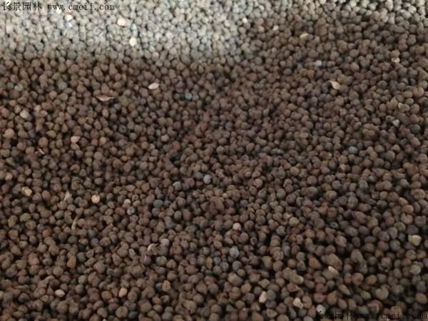 毛地黄种子图片
