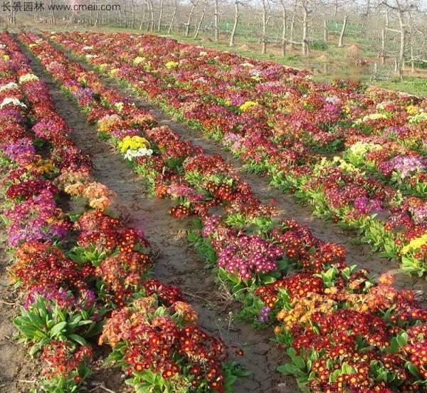 欧洲报春种子发芽出苗开花图片