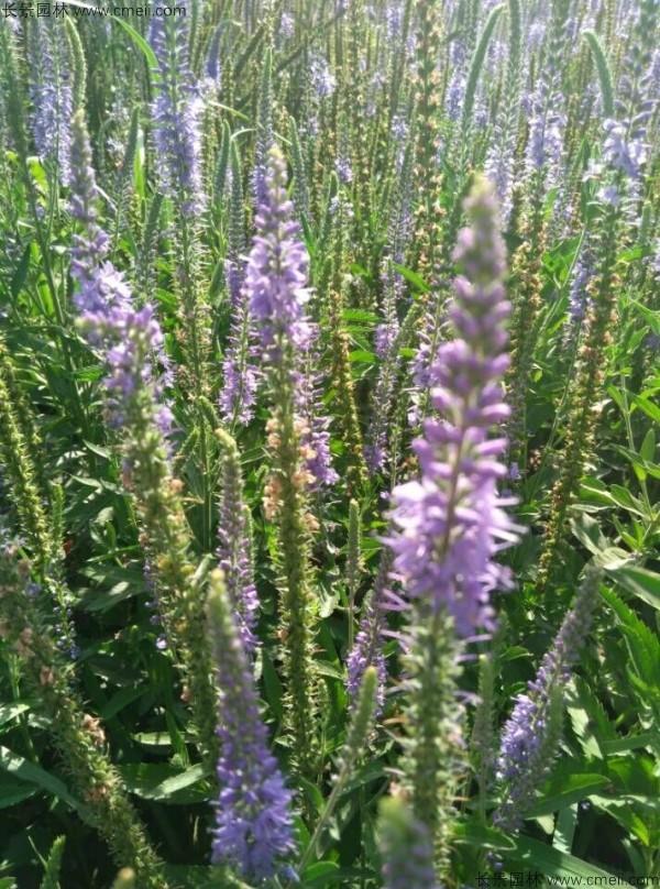 婆婆纳种子发芽出苗开花图片