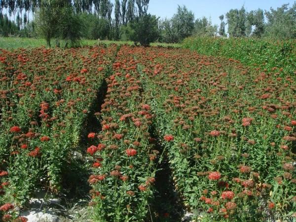 剪秋罗种子发芽出苗开花图片