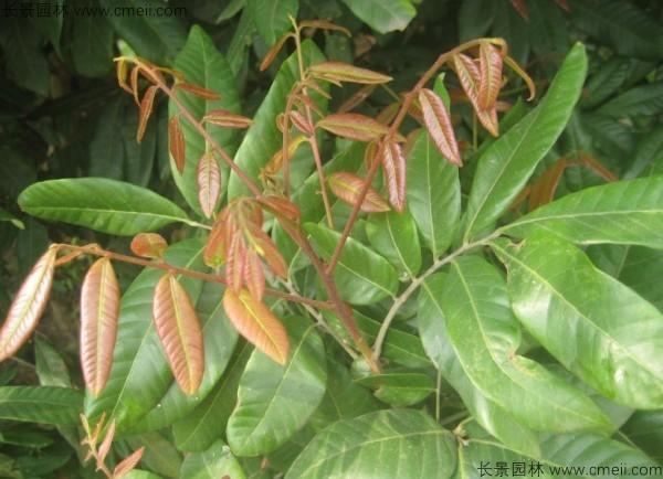 桂圆种子发芽出苗图片