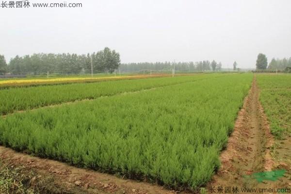 柏木种子图片