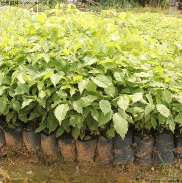 黄花风铃木容易种植吗图片