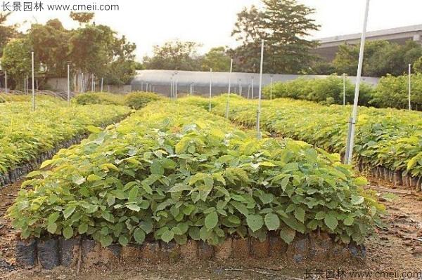 黄花风铃木种植几年才开花图片