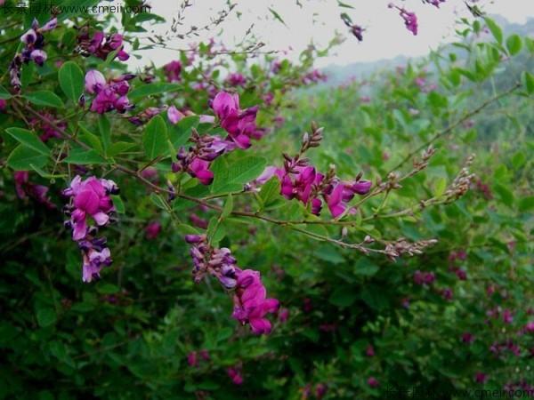 胡枝子种子发芽出苗开花图片