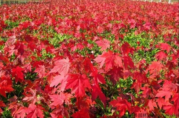 美国红枫种子发芽出苗图片