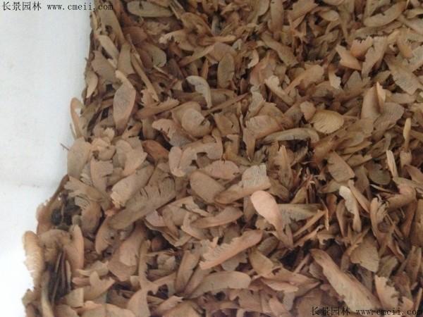 美国红枫种子图片