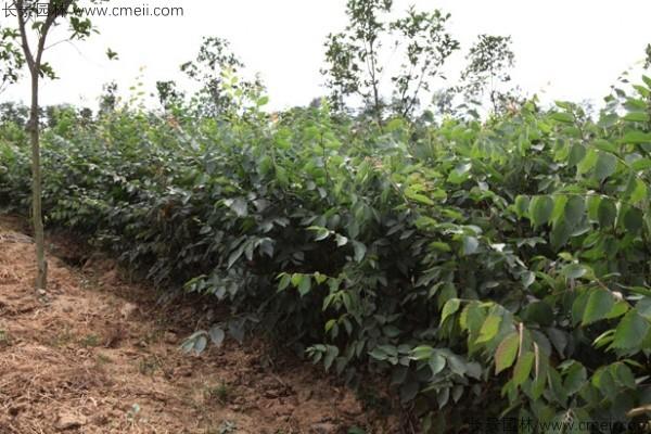 红榉种子发芽出苗图片