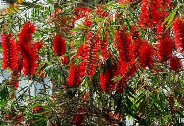 红千层种子发芽出苗开花图片