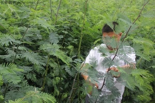 金合欢种子发芽出苗图片