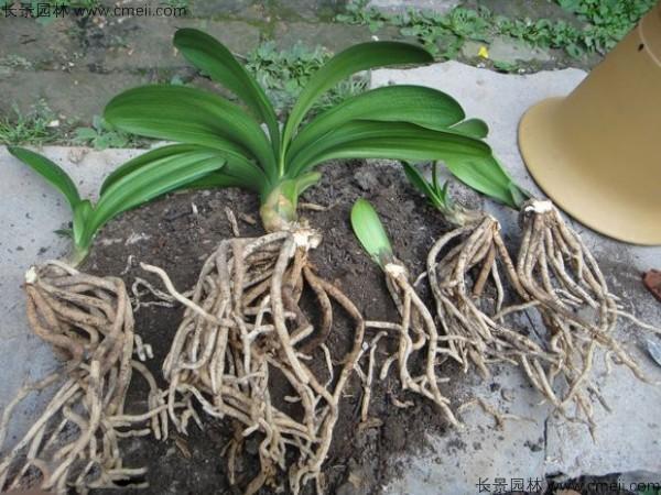 君子兰种子发芽出苗图片