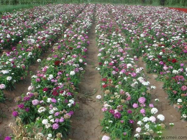 瞿麦种子发芽出苗开花图片