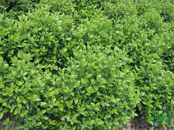 荚蒾种子发芽出苗图片