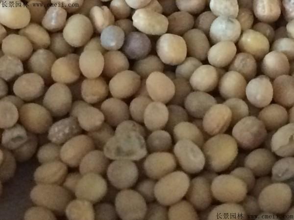 芥末种子图片