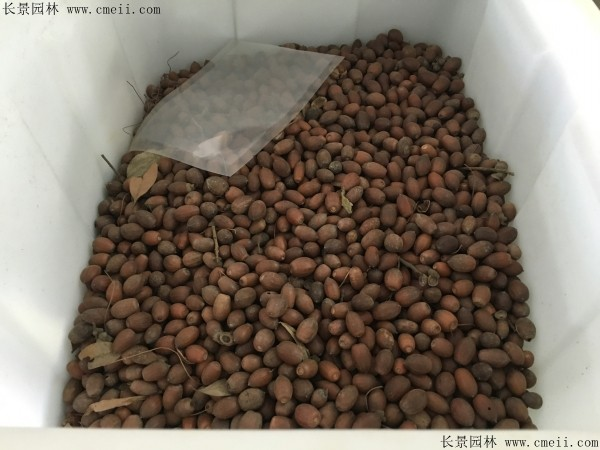 栎树种子图片
