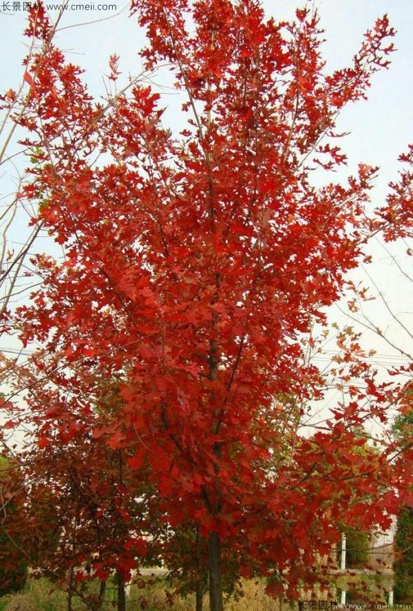 栎树种子发芽出苗图片