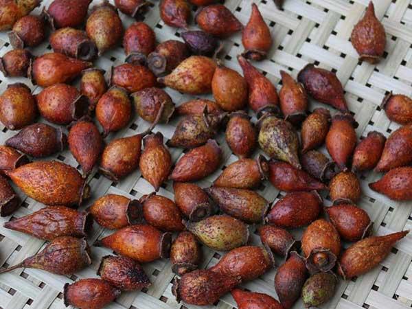 大金果种子图片