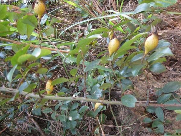 大金果种子发芽出苗图片