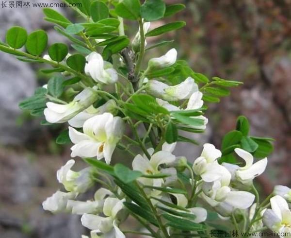 苦刺种子发芽出苗开花图片