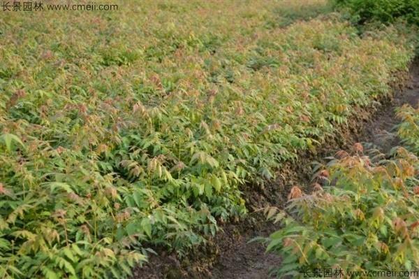 北栾种子发芽出苗图片