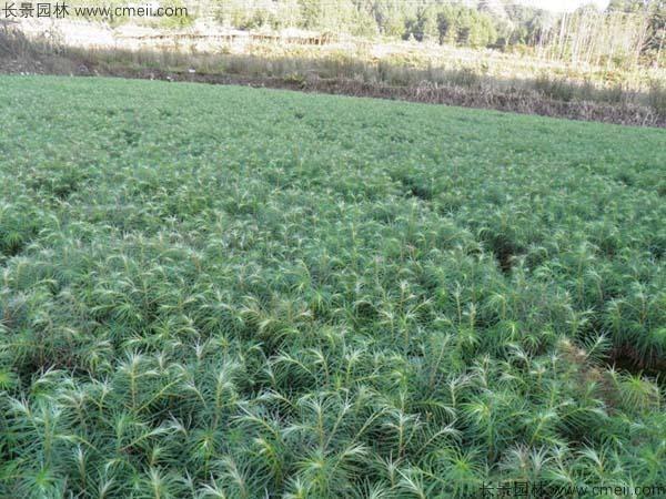 柳杉种子发芽出苗图片