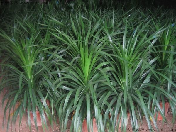 龙血树种子发芽出苗图片