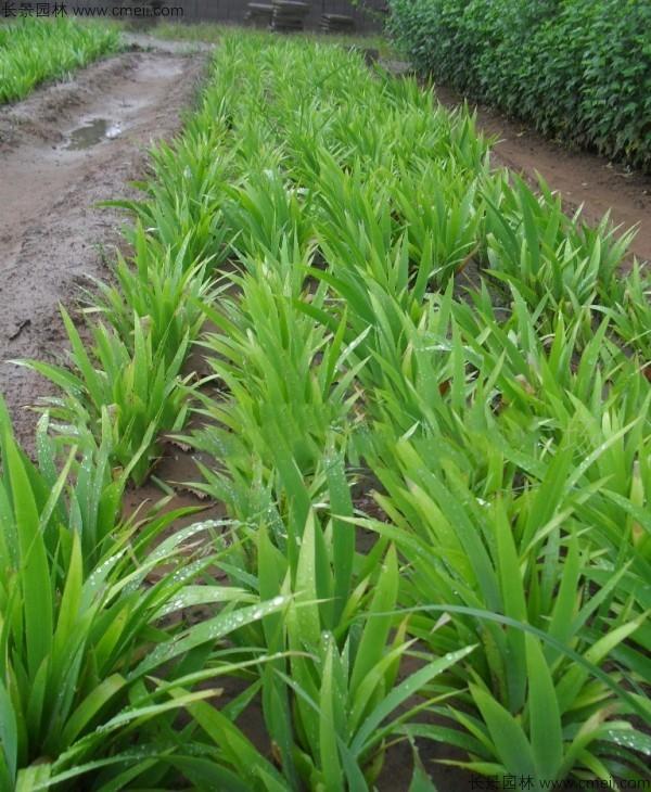 蓝花鸢尾种子发芽出苗开花图片
