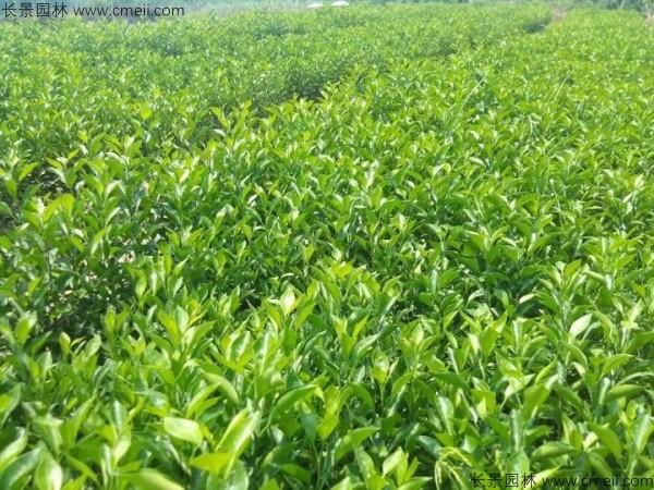 柠檬种子发芽出苗图片