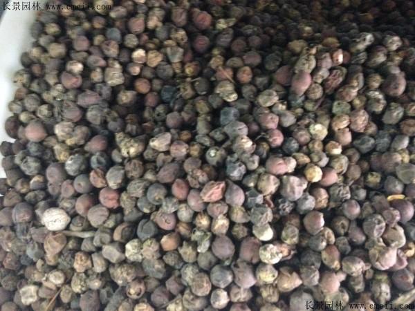 大叶朴树种子图片