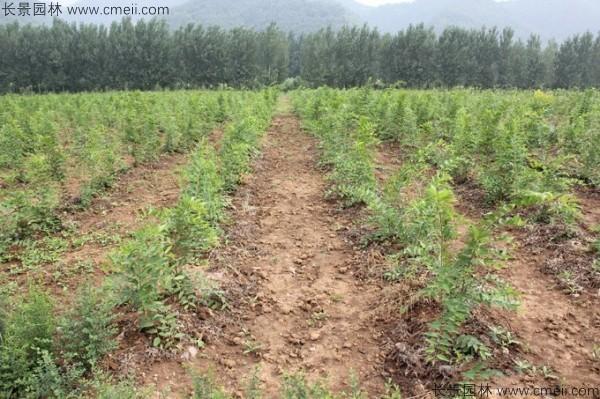 大叶朴树种子发芽出苗图片