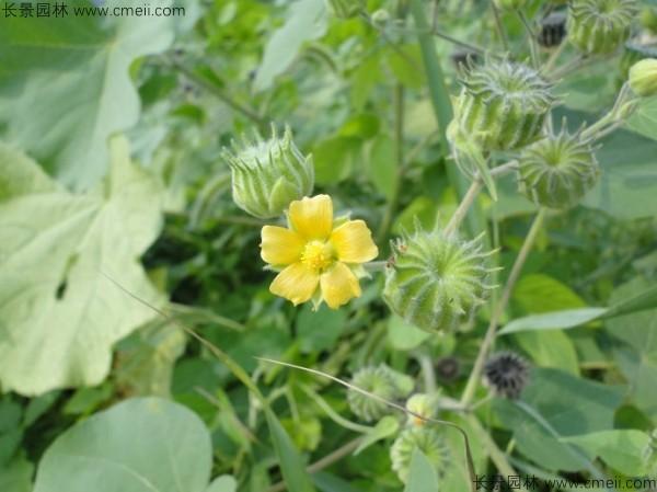 青麻种子发芽出苗开花图片