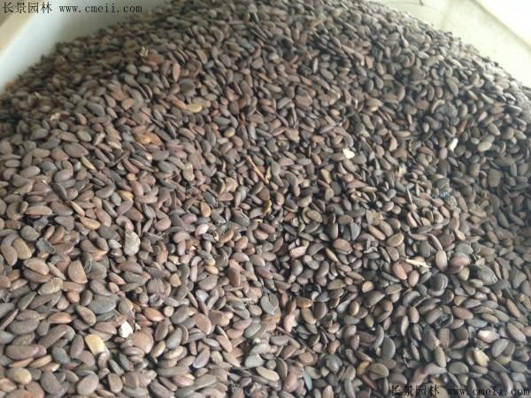 软枣种子图片
