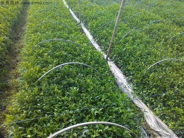 榕树种子发芽出苗图片
