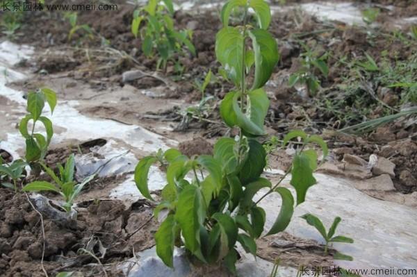 四照花种子发芽出苗图片