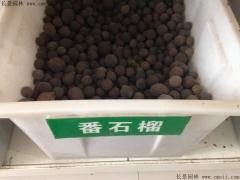 潘石榴种子