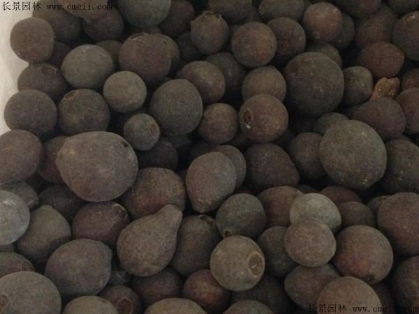 潘石榴种子图片