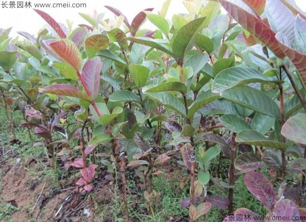 潘石榴种子发芽出苗图片